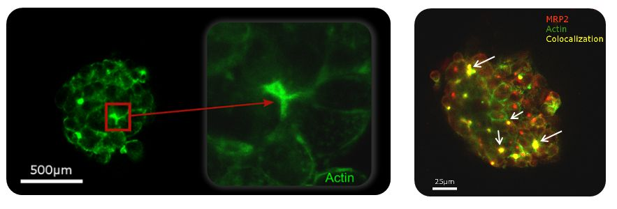 Formation of canaliculi network with Actin and MRP2 colocalization